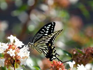 OMD EM1 9.20.2019 butterfly 2