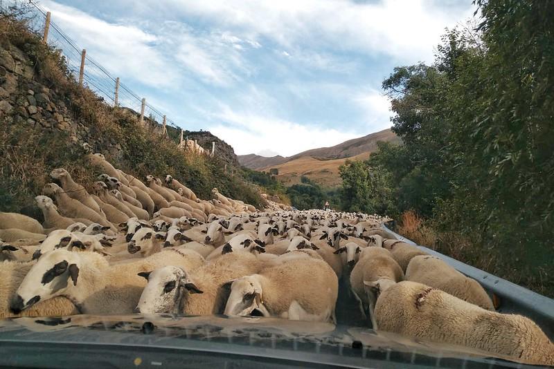 Cientos de ovejas rodeando el coche en la carretera de Durro