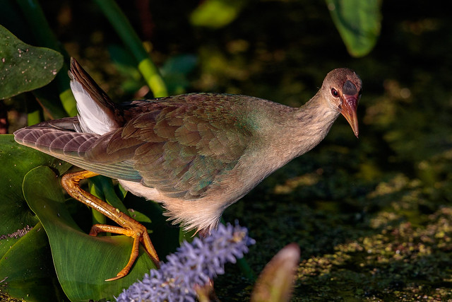 Immature Purple Gallinule
