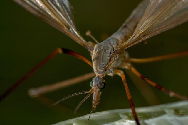 Crane fly (Tipula paludosa)