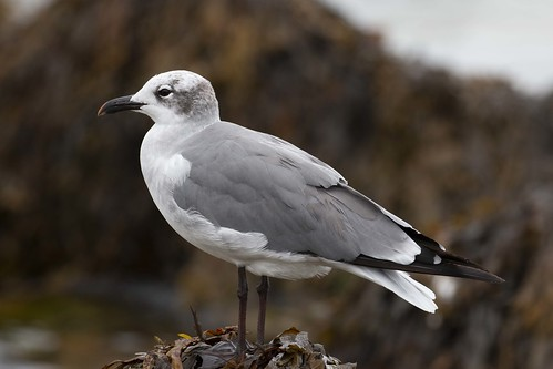 Laughing Gull in winter plumage