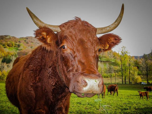 Portrait vache!