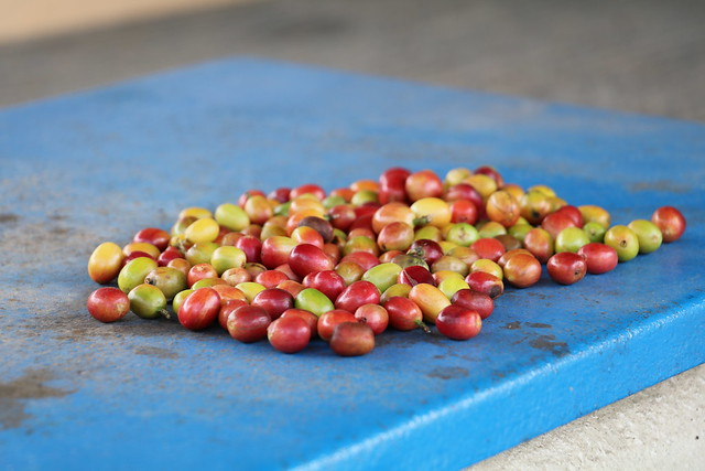 Raw coffee beans from José (Tato) Roig's farm