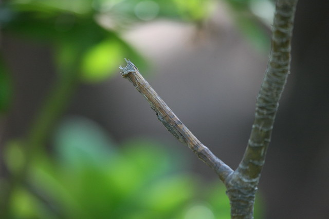 Moth camouflaged on twig (4)