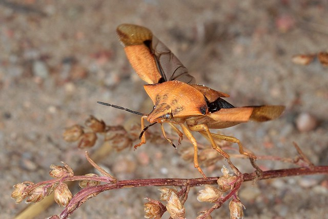 Rolf Nagel-Fl-6309-Carpocoris fuscispinus