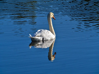 Swan Reflection.