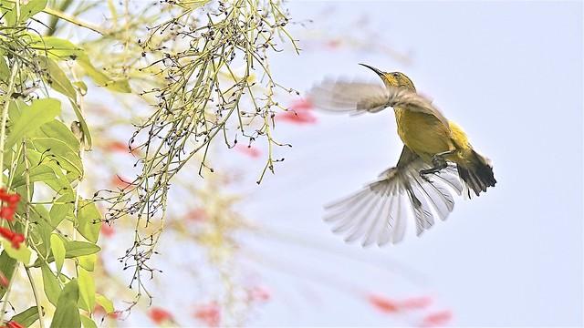 Sunbird: Female