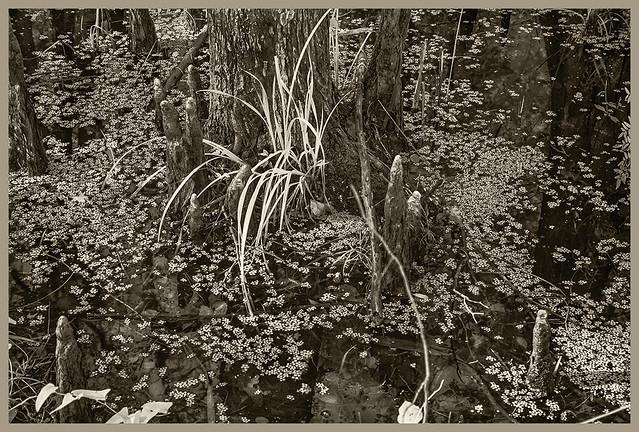 Lake Woodruff NWR IR #2 2019; Cypress Knees