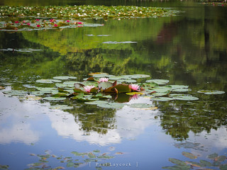 Water Lillies 28/52 2019