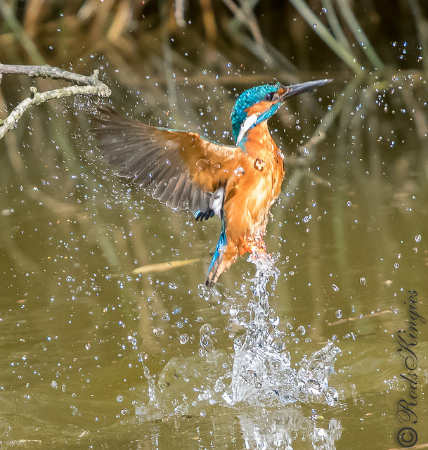 Kingfisher rising from the water