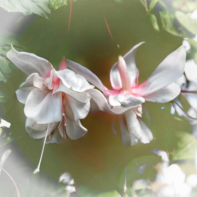 Brampton Ontario - Canada - Alderlea Mansion  - Garden flower Cluster