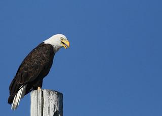 Bald Eagle...#3