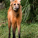 NZ Maned Wolf 3-0 F LR 9-11-19 J017
