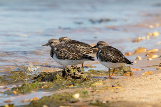 A Trio of Turnstone