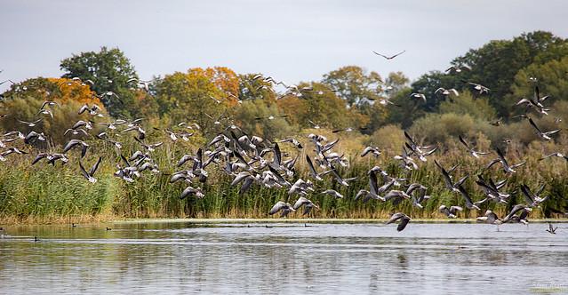 Greylag geese in the swarm <> Graugänse