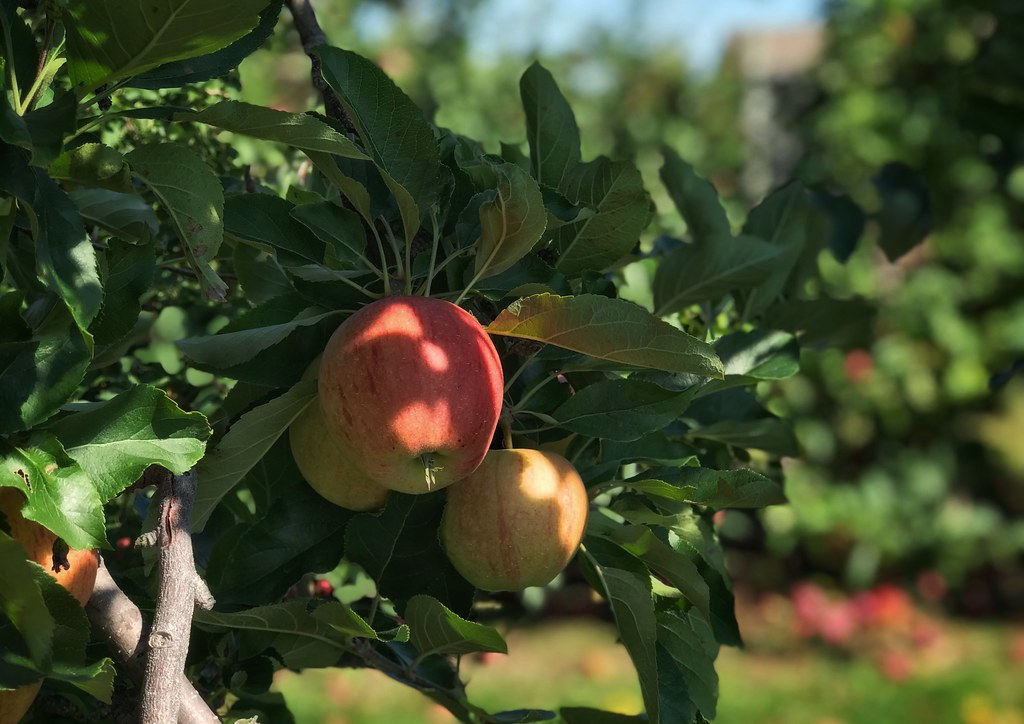 Apples on a tree at Great Lakes Farms