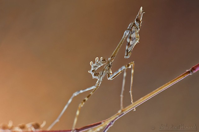 Empusa pennata juvenile - Conehead mantis - Empuse commune juvénile