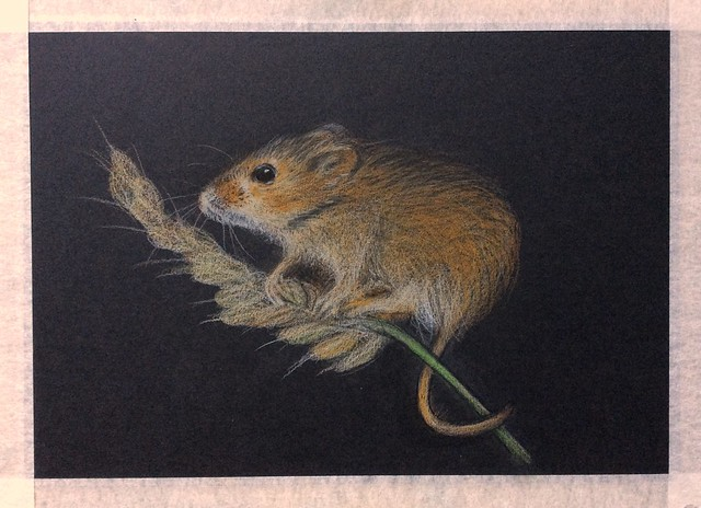 Field Mouse. Last stage of 2. Coloured pencil drawing on black card by jmsw.