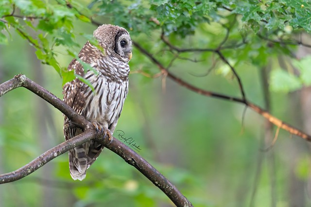 Barred Owl - Strix varia | 2019 - 32