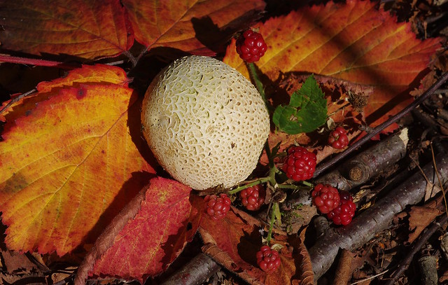 Autumn. Earthballs, brambles and leaves......