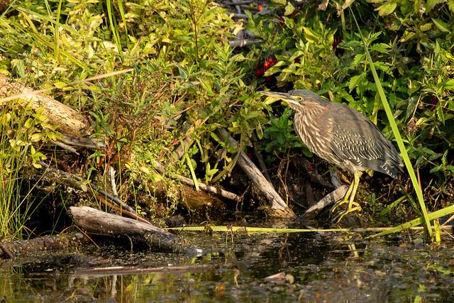 Green Heron (juv)