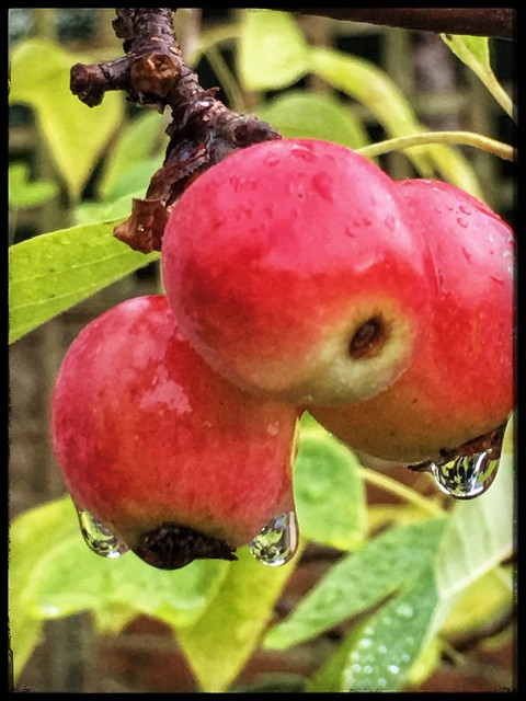 Three crabapples, three drops
