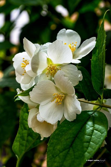 Celinda en flor