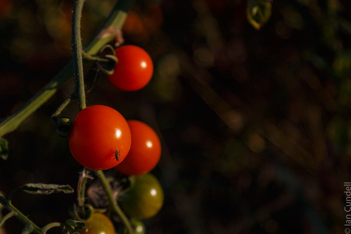 Cherry tomatoes with guest