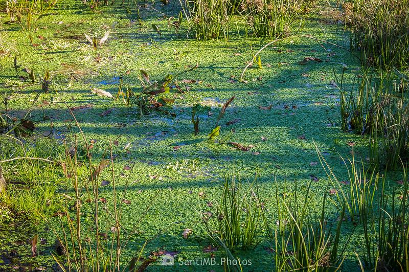 Vegetación acuática del humedal de la Roureda de Tordera
