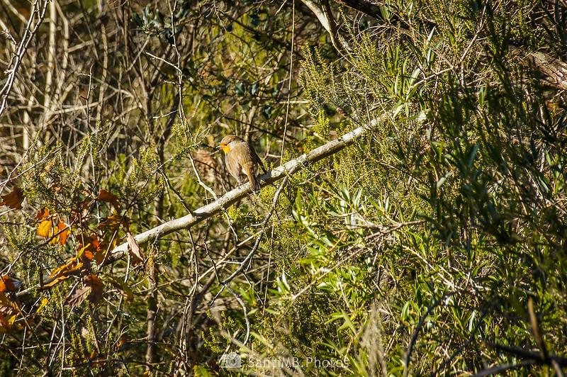 Petirrojo vigilándonos en la vegetación de la Roureda de Tordera