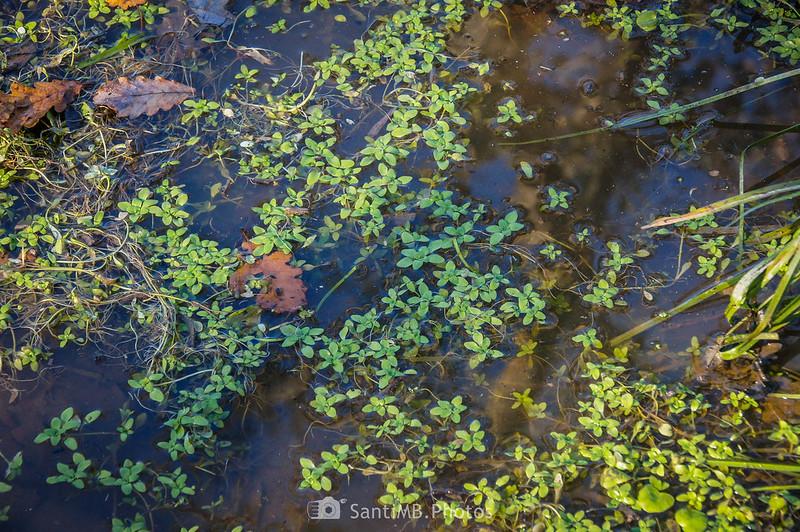 Plantas acuáticas en charca del camino a la Roureda de Tordera