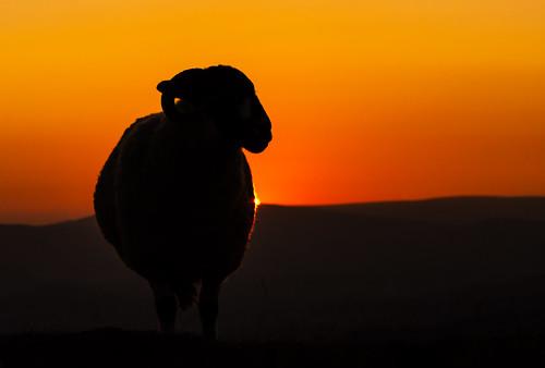 stanageedge sheep silhouette rimlighting derbyshire moorland sunset orange