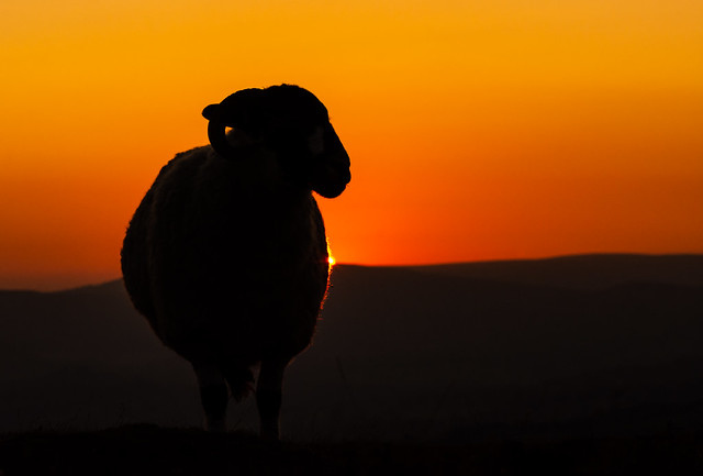 Sheep on Stanage Edge at Sunset