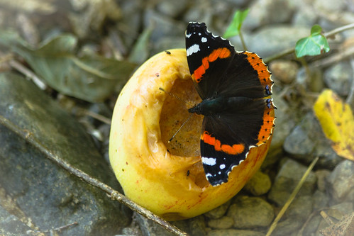 red admiral on apple