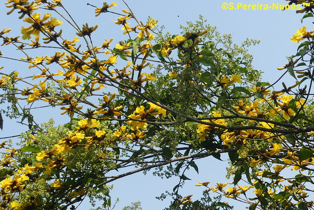 Ipê Amarelo, Flowering Caribbean Trumpet Tree Forest Hills, Brazil