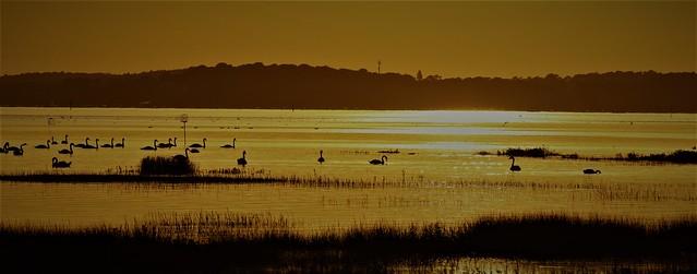 Les derniers rayons de soleil sur les cygnes sauvages du Cap Féret