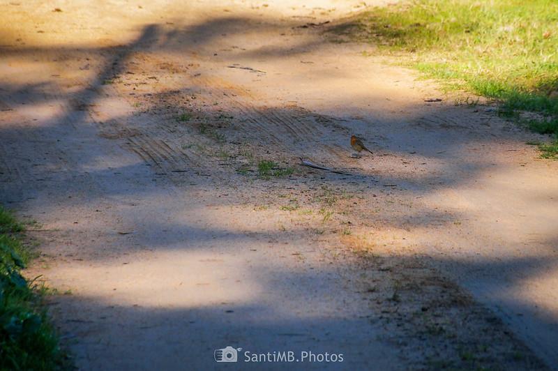 Un petirrojo en el camino