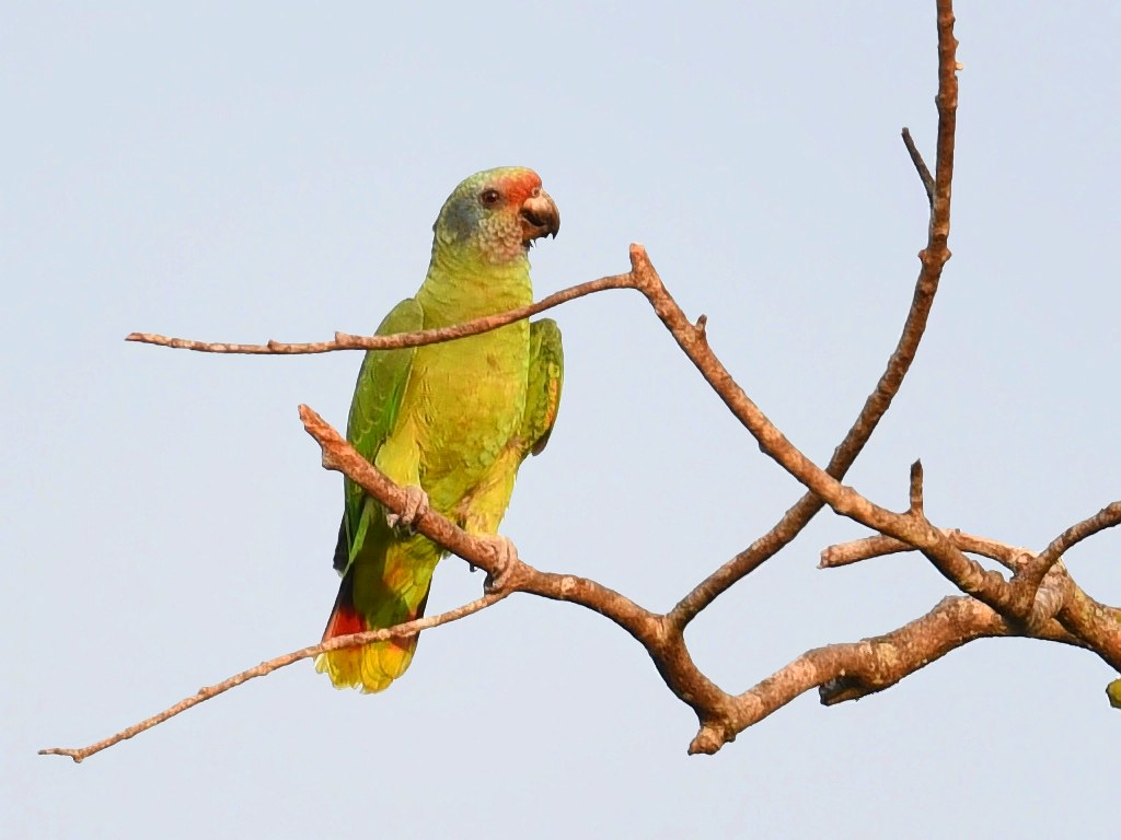 Papagaio-de-cara-roxa / Red-tailed Parrot