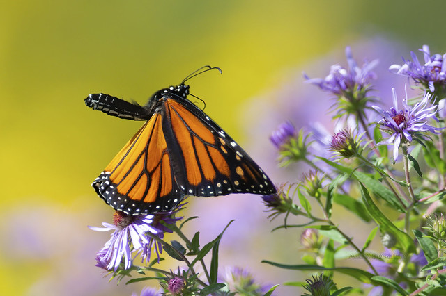 MONARCH BUTTERFLY+