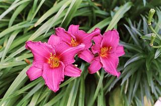 Fuchsia Lilies