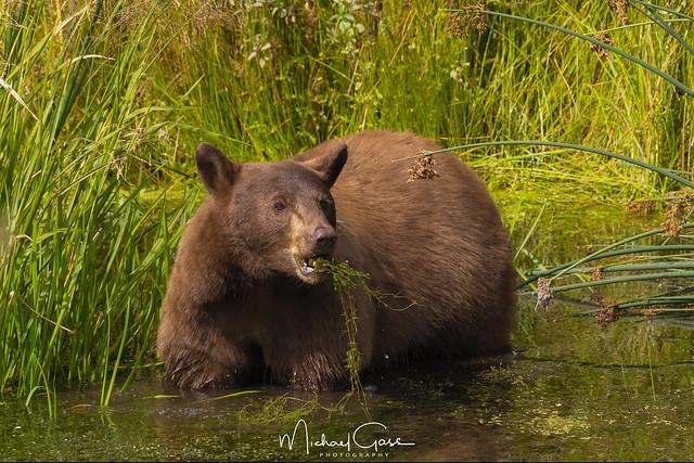 Gorging Bear
