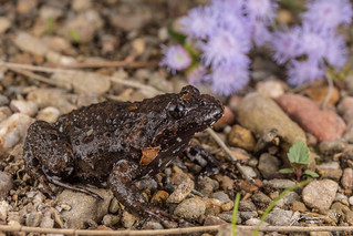 Tusked Frog