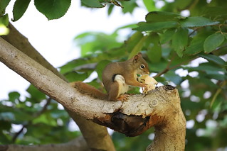 101/366/4118 (September 20, 2019) - Red Squirrel at the University of Michigan - September 20th, 2019 (yep - a red squirrel)!