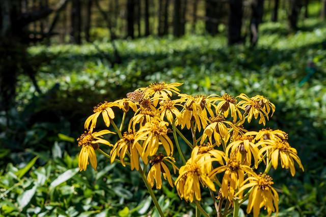 マルバダケブキ・・・夏の花が残る
