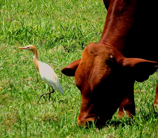 Cattle Egret with its orange mating plimage.