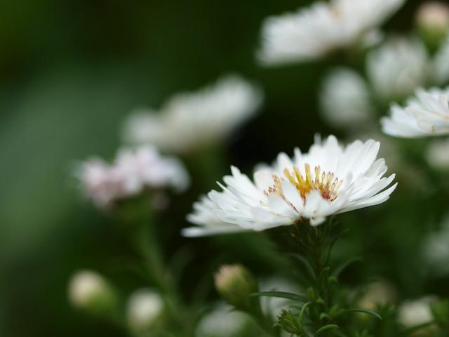 In Blüte