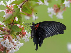 Great Mormon butterfly (Papilio memnon thunbergii, ナガサキアゲハ)