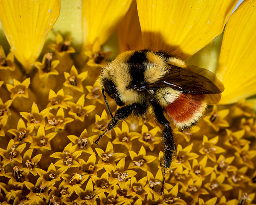 Bumblebee at Rest