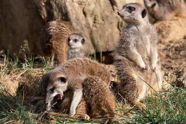 Erdmännchen - Kölner Zoo