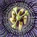 Passiflora, 8.20.19